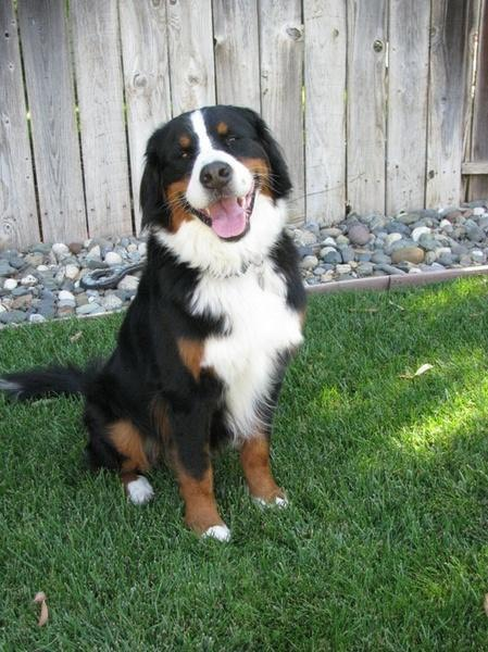 NO DOGS AVAILABLE FOR ADOPTION AT THIS TIME | Norcal ... Bernese Mountain Dog Rescue